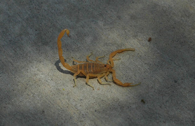facts about the desert scorpion