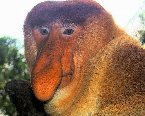 ugly animals funny animal monkey memes creatures really very monkeys strange looking rare nosed narigudo species face