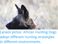 http://sciencythoughts.blogspot.co.uk/2016/04/lycaon-pictus-african-hunting-dogs.html