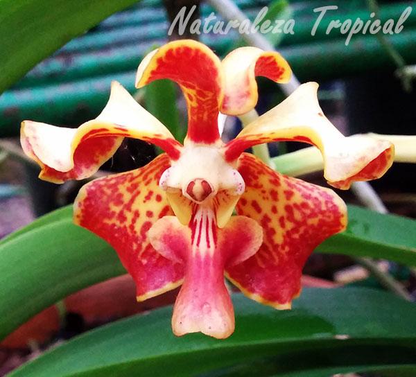 Orquídea Alegría, Vanda tricolor