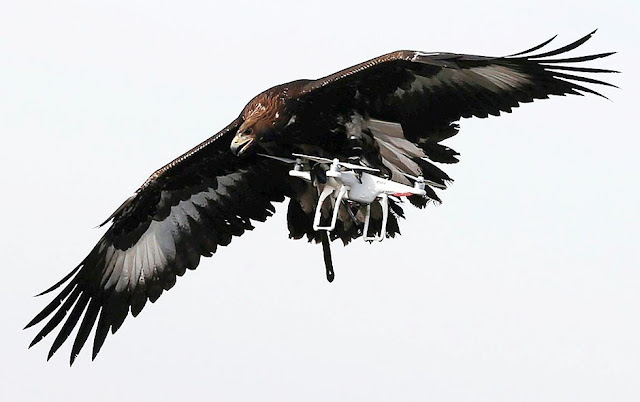 Drones vs Eagles: The French army trains its predators to bring down drones, we see it in video