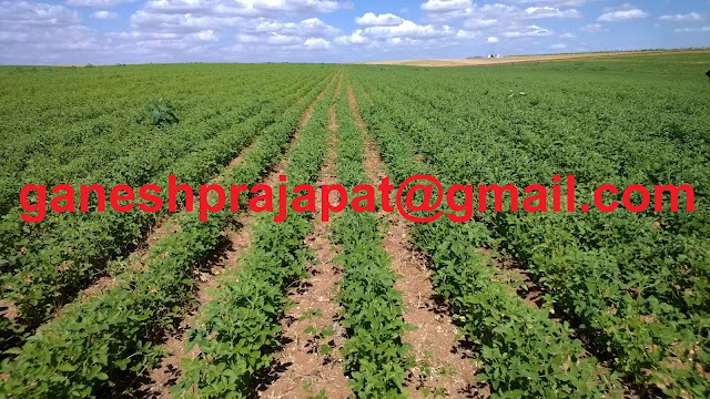 Guar, guar gum, guar price, guar gum price, guar deamand, guar gum demand, guar seed production, guar seed stock, guar seed consumption, guar gum cultivation, guar gum cultivation in india, Guar gum farming, guar gum export from india , guar seed export, guar gum export, guar gum farming, guar gum cultivation consultancy, today guar price, today guar gum price, ग्वार , ग्वार गम, ग्वार मांग, ग्वार निर्यात , ग्वार उत्पादन, ग्वार कीमत, ग्वार गम मांग