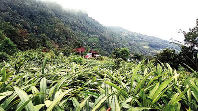 Large cardamom plantation in Kalimpong