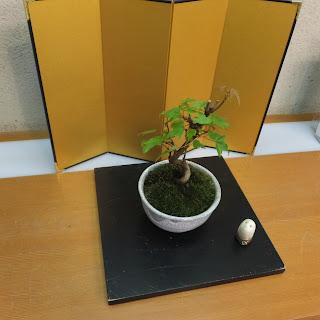 唐カエデの盆栽