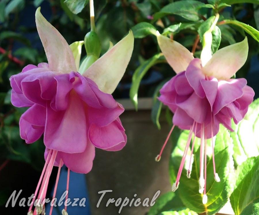 Flor con sépalos blancos y numerosos pétalos rosados de una Fuchsia, Pendientes de la Reina o Fucsia