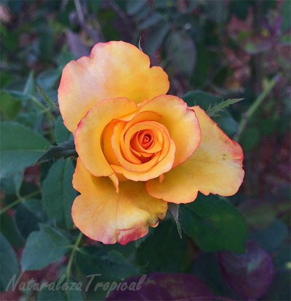 Rosa amarilla con borde naranja