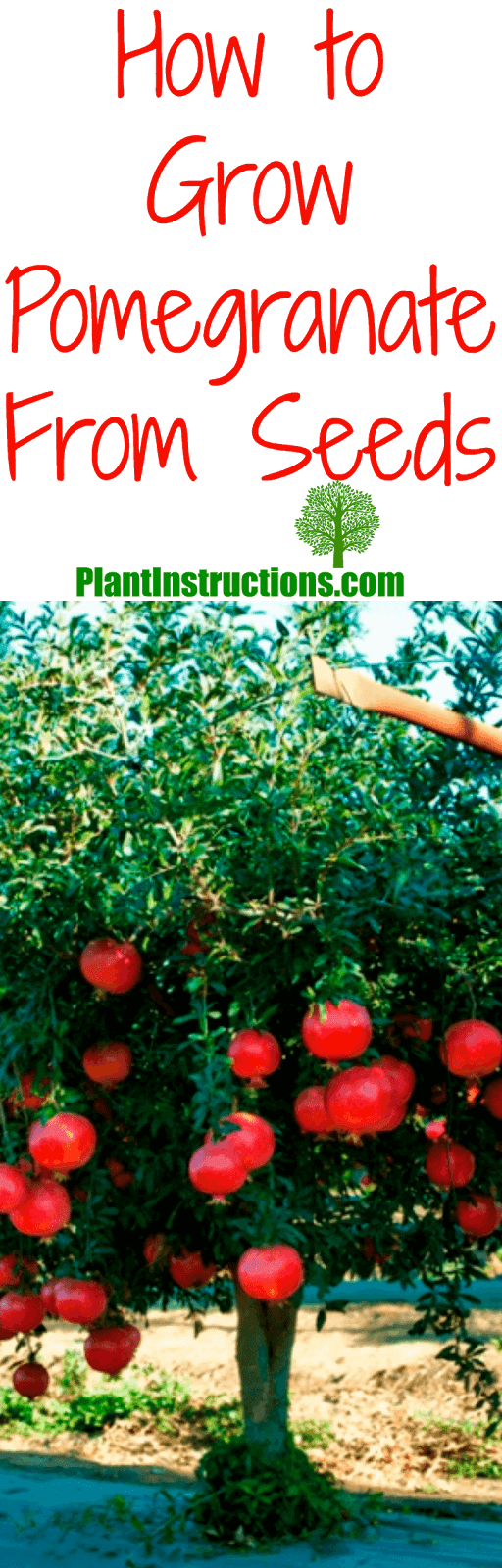 Easy Tips How To Grow Pomegranate From Seed Grow Your Own