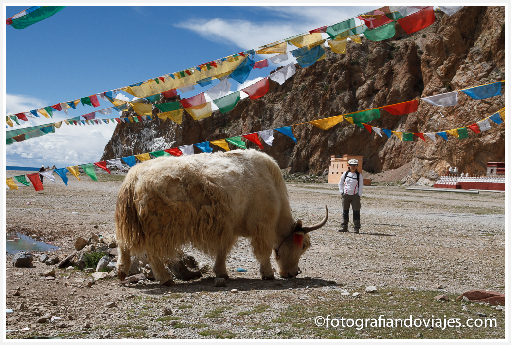 yak blanco en lago Namtso o Nam Co en Tibet