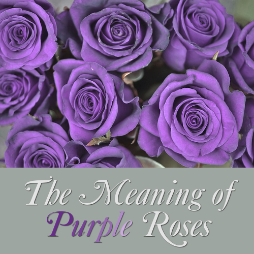 Purple Rose Flower Meaning and Symbolism: What Purple Roses Mean