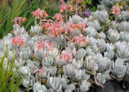 Cotyledon Undulata Cotyledon orbiculata Plant photo