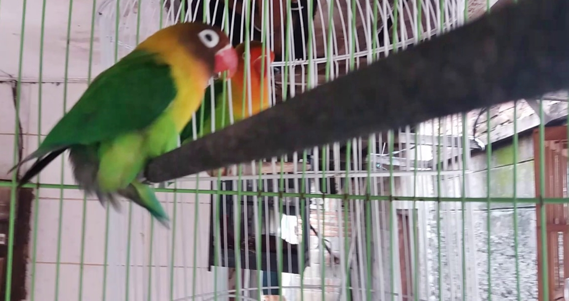 Lovebird muda gesek pangkringan