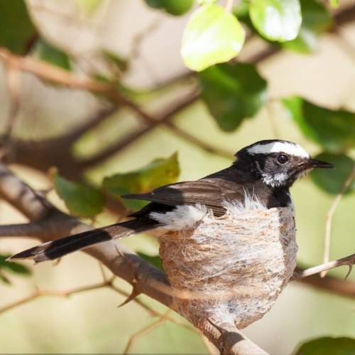 Indian birds - Photo of White-browed fantail - Rhipidura aureola