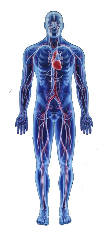 human bones bodies scientific fun facts switch2life interesting parts