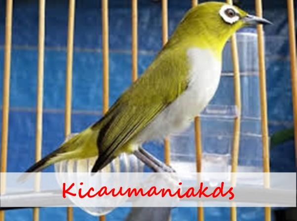 Cara Menjaga Kondisi Burung Pleci Tetap Bersemangat Kicau Mania Kudus