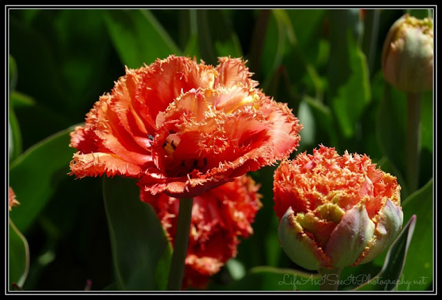 fringed peach tulips