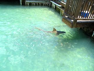 Shark Feeding at the Aquarium in Key West Florida