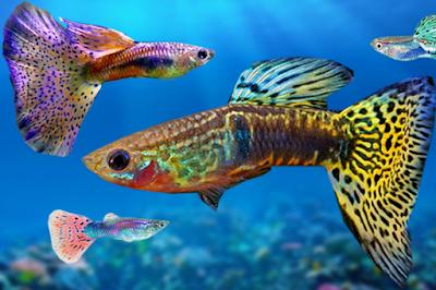 Cara Budidaya Ikan Hias Guppy