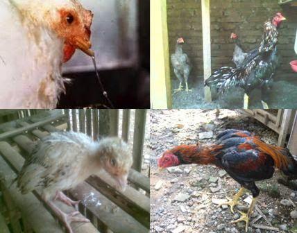 Cara Mengobati Penyakit Pilek Pada Ayam Ternak Ayam
