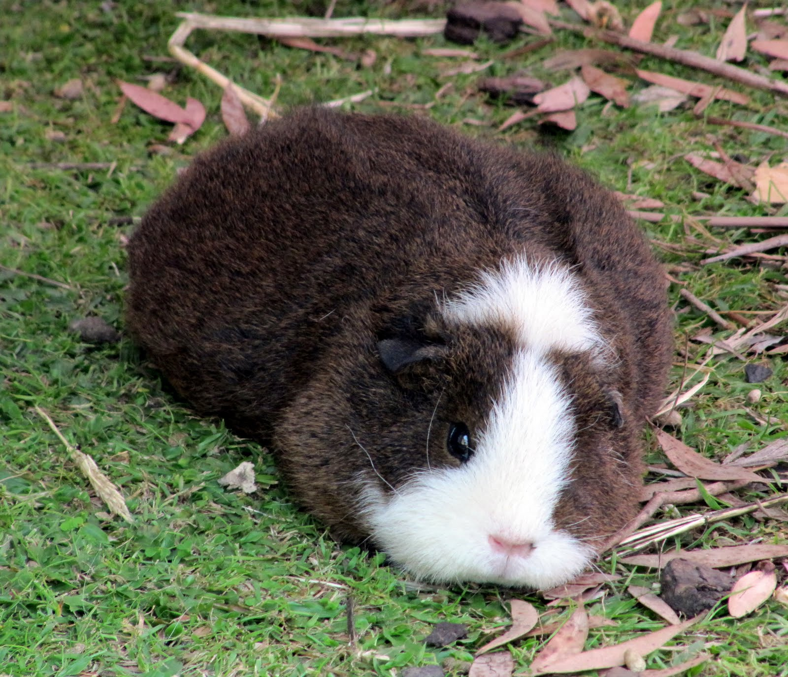 Can A Male And Female Guinea Pig Live Together