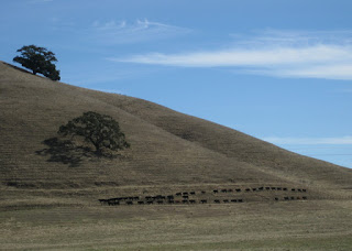 Cattle march in two straight lines on the lower slope of a hill, Gilroy, California