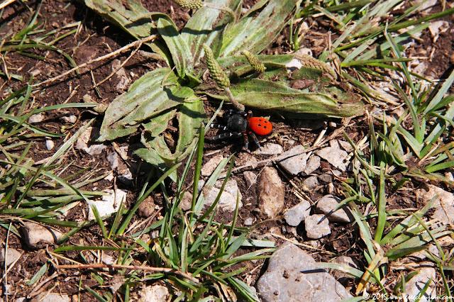 Eresus kollari, observé à Réallon, Haute Alpes cet été (C) Greg Clouzeau