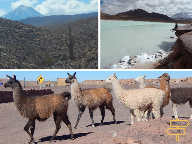 Lhamas do Atacama
