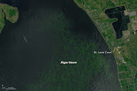 A blue-green algae bloom in Florida's Lake Okeechobee. Due to releases of water, the algae spread through the St. Lucie Canal and out to the coastal waters near Stuart, Fla. (Credit: NASA) Click to Enlarge.