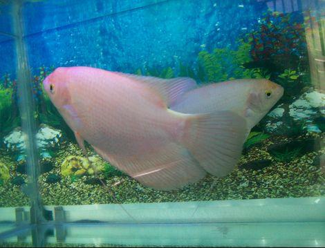 Ikan Hias Gurame Putih