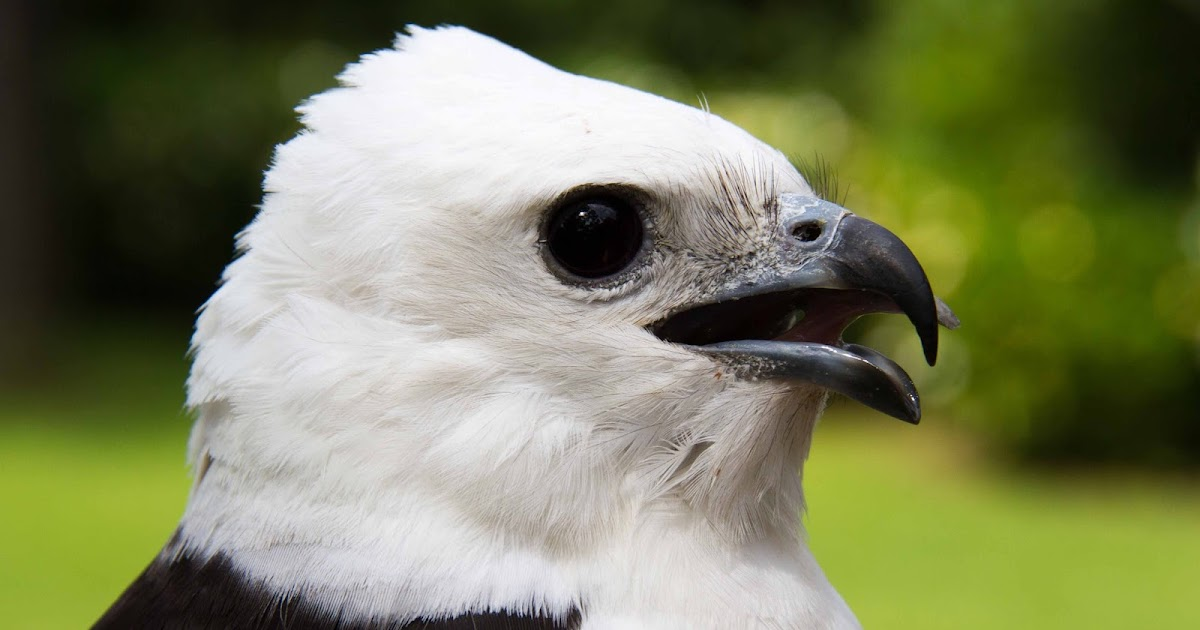 Swallow Tailed Kite Migration Bogue Falaya S Debut From The Bayou