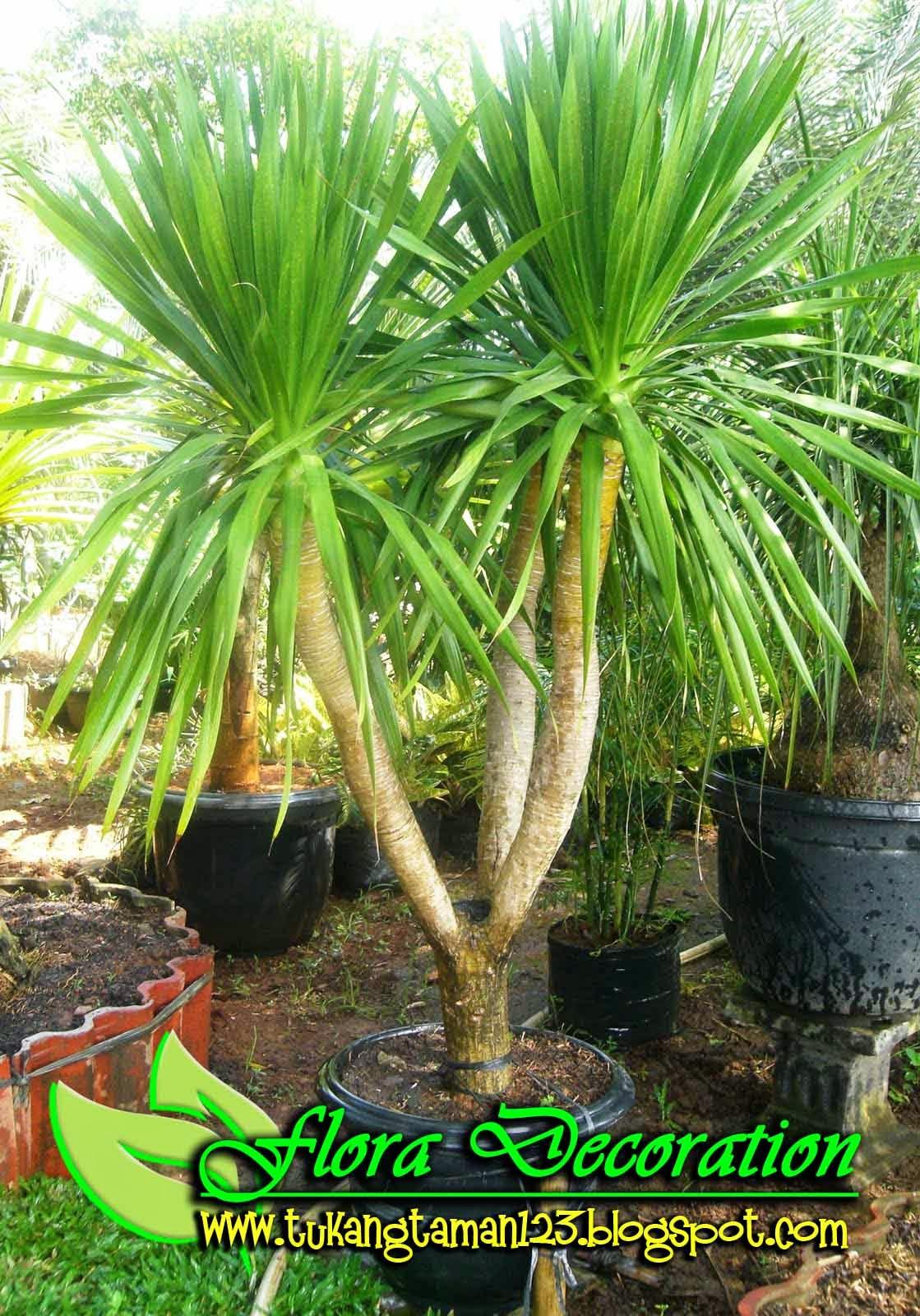 Harga jual pohon pandan bali cabang murah