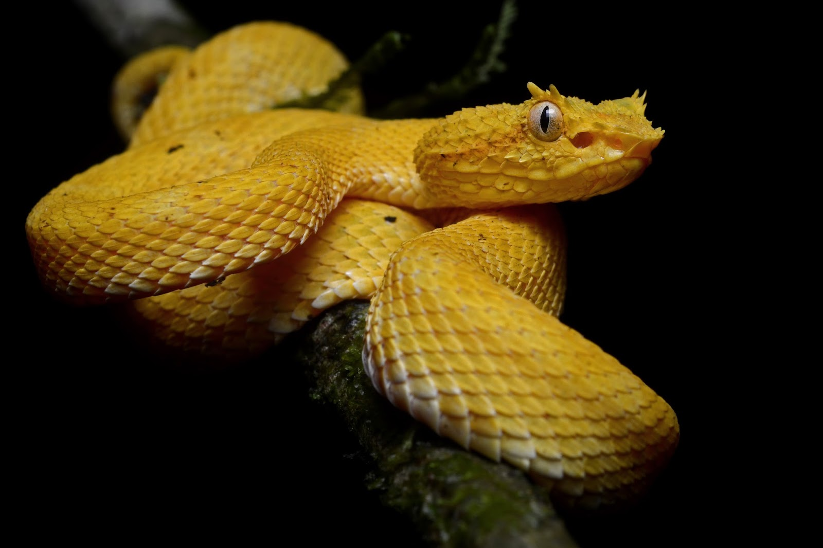 Reptiles: Bothriechis schlegelii (La Selva Biological Station)