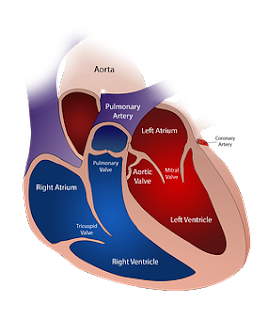 colored diagram of the heart with labels