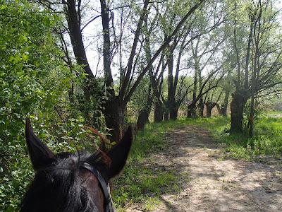 Grzyby na wiosnę, grzyby majowe, grzybobranie w maju, grzybobranie na koniu, żółciak siarkowy Laetiporus sulphureus, konie, jazda konna, jazda w terenie, szukanie grzybów wiosennych