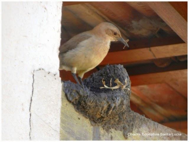 Hornero construyendo su nido - Chacra Educativa Santa Lucía