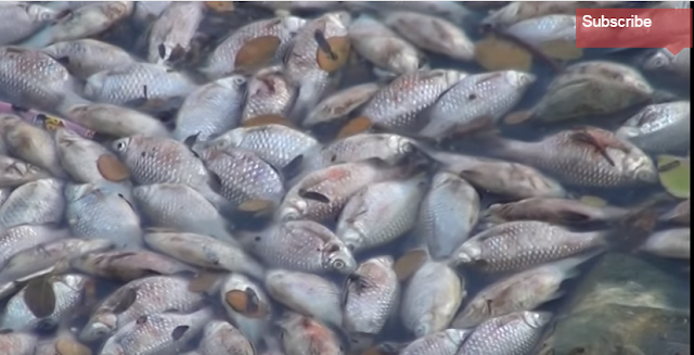 Hundreds of fish have choked to death at Bangalore's Ulsoor lake after sewage water flowed in and reduced oxygen level in the water.   Local residents said sewage water had been flowing into the lake due to a breach in the bund, reports PTI. Though they had reportedly alerted the officials no action followed.