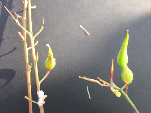 Radieschenschote von grün auf beige