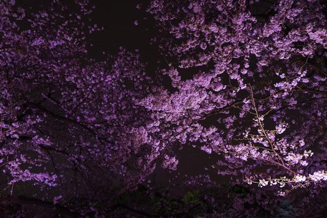 ライトアップされた千鳥ヶ淵(千代田区)の夜桜
