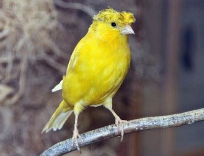 Cara Ampuh Mengobati Kaki Burung Kenari Yang Terkena Jamur Paling Akurat