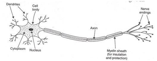 न्यूरॉनकोशिका