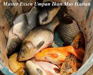 Essen Umpan Ikan Mas Harian