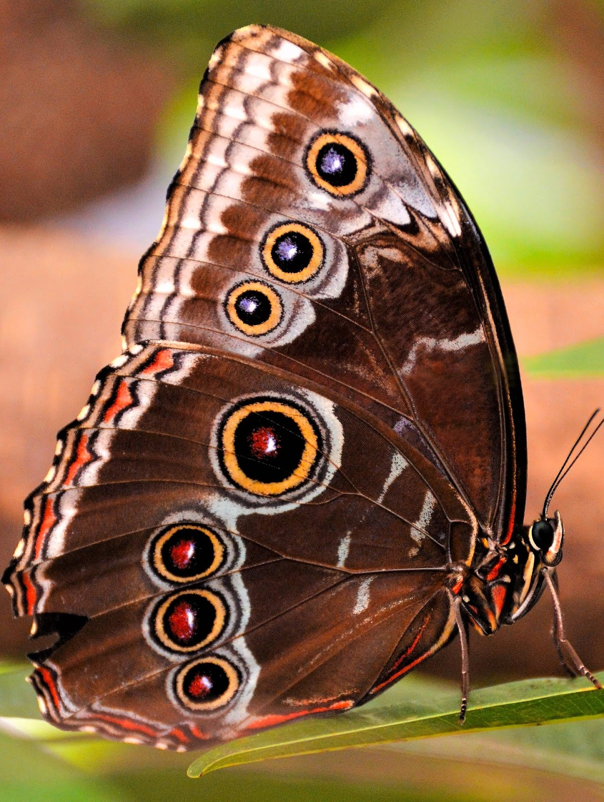An owl butterfly up close.
