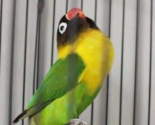 Melatih Lovebird Agar Fighter Latah Dan Rajin Ngekek Panjang