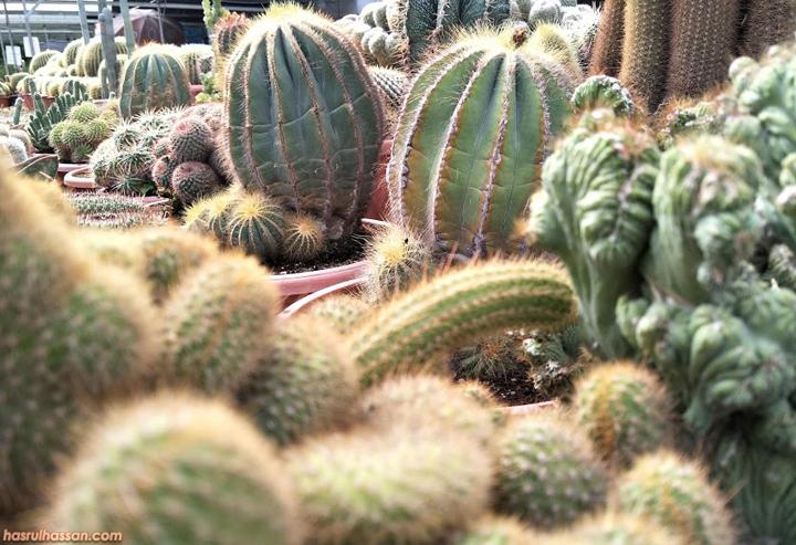 tips tanam dan jaga kaktus