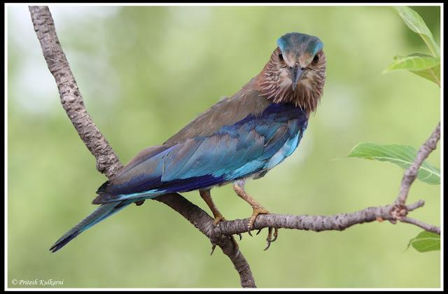 Angry Bird....Indian Roller at Tadoba