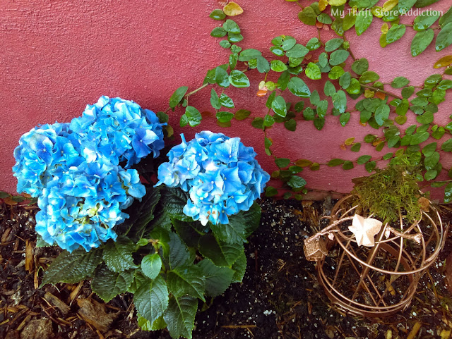 periwinkle hydrangeas at Secret Garden Herbs