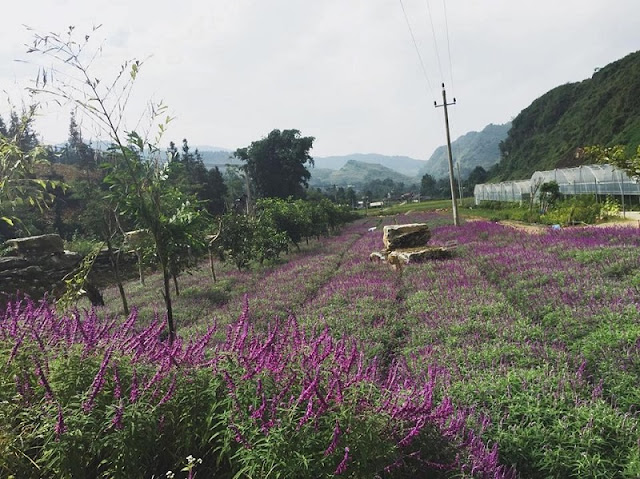 Lavender harvest season in Lao Cai 1