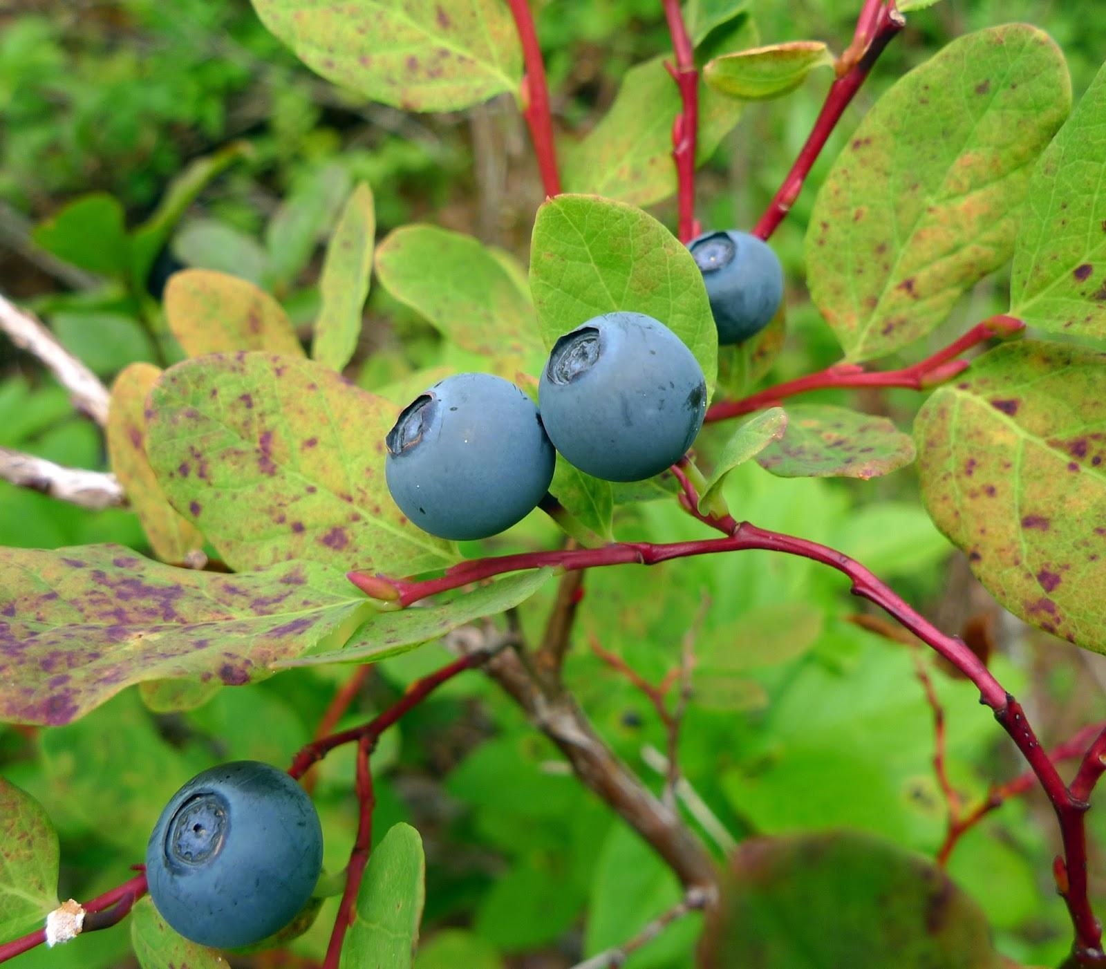Blueberry Fruit Wild Harvests: ...