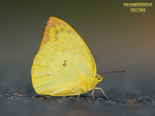 Lemon Emigrant