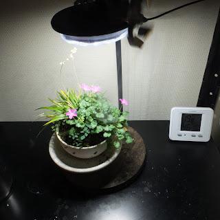 植物鑑賞スタンドで育てている姫フウロ草の花