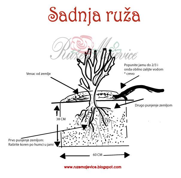 Kako saditi ruže skica